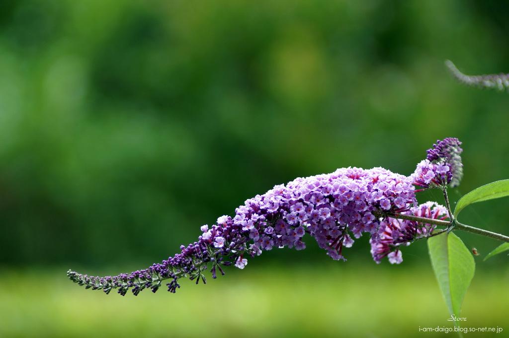 7月の花 ブットレアココロの記憶so Netブログ