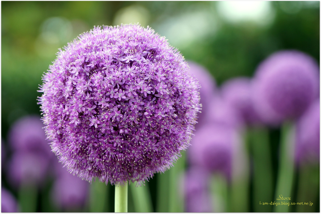 6月の花 アリュウムココロの記憶so Netブログ
